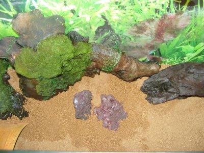 racine mopani