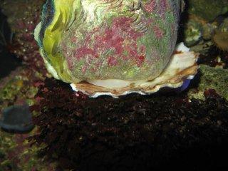 Tridacna crocea